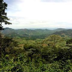 【尼加拉瓜】蠻牛莊園 黃蠻牛 水洗