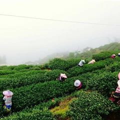 【臺灣茶】杉林溪 翠玉冬茶