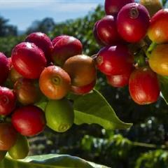 【肯亞】涅里產區 克麗緹娜處理廠 珍珠圓豆