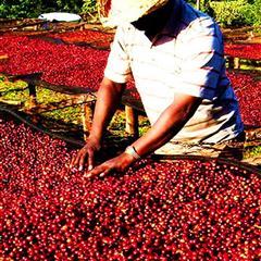 【哥斯大黎加】布蘭卡 奇里波山谷 里瓦斯人處理廠 寶藏莊園 黑蜜