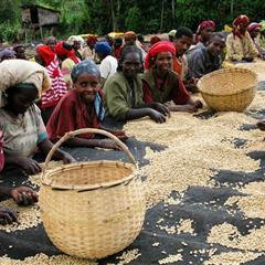 【衣索比亞】西達摩 谷吉 烏拉嘎鎮 所羅門村 日曬 G1